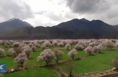 Aerial view of peach blossom in Tibet