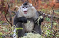 Rare monkeys turn hunters to rangers in southwest China nature reserve
