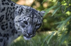 Snow leopard spotted in NW China
