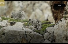 Infrared cameras capture snow leopard family in NW China