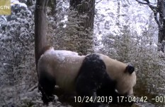 Wild giant panda spotted marking territory in SW China