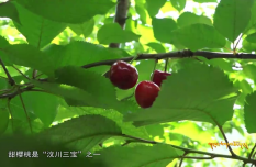 Aba Takes Measures to Improve the Production of Cherries