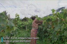 Vineyards change lives of villagers in SW China's Tibet