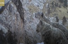 Rare snow leopards caught on camera in NW China