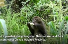 Tibetan macaques spotted foraging in SW China