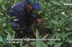 Greenhouse planting helps villagers shake off poverty in China's Tibet