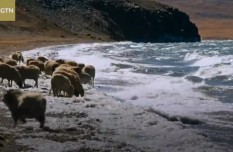 Into Tibet 2020: The migrating sheep