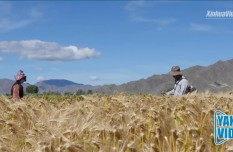 Yak Video | Tibet working on new highland barley breeds