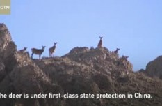 Rare white-lipped deer spotted in NW China nature reserve