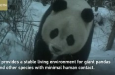 Giant panda appears to take selfie in southwest China nature reserve