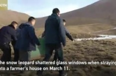 Rescued snow leopard released with satellite collar in Qinghai