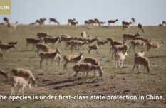China sees growing population of Tibetan antelopes over decades