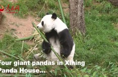 New heights for giant pandas at Qinghai-Tibet Plateau