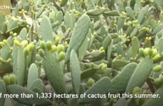 Cactus fruit sweetens up profit for farmers in SW China's Sichuan