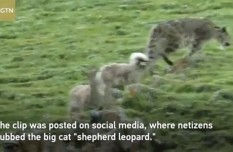 Rare footage of 'ghost of the mountains' becoming 'shepherd leopard'