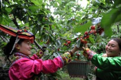 Cherry Picking Festival of Wenchuan County