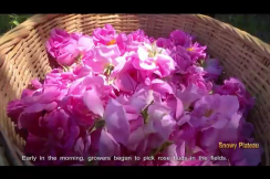 Rose Planting Helps Alleviate Poverty in Xiaojin County