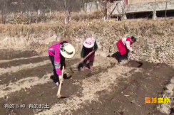 Spring Ploughing Carried out in Jinchuan County