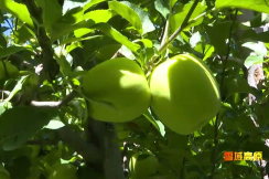 Xiaojin Apple Helps Locals Make a Fortune