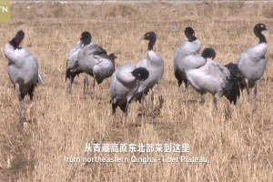 Southeastern Tibet Series| Episode 6 Lucky Bird on the Plateau