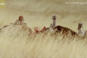 The Himalayan vultures- Fighting for food