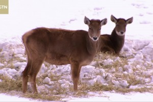 More white-lipped deer spotted in NW China's Gansu