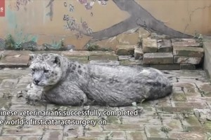 Chinese vets perform world's first snow leopard cataract surgery