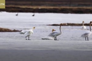 Migratory whooper swans gather at southwest China's grassland