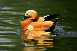 Ruddy shelduck flock to SW China's Hongyuan Grassland