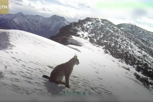 Lynx, wolves captured on camera in southwest China nature reserve