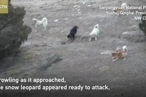 Footage shows confrontations between snow leopards and other animals