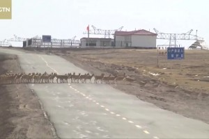 Tibetan antelopes start annual migration to Hoh Xil in northwest China