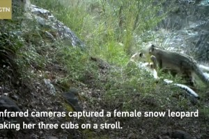 Family of snow leopards takes a stroll in NW China nature reserve