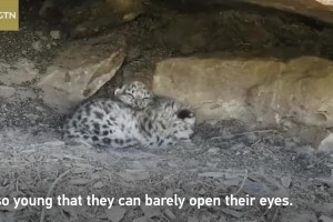 Snow leopard cubs enjoy intimate moment with mom in northwest China