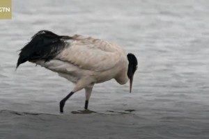 Into Tibet 2020: Black-necked crane