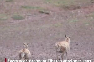 Baby Tibetan antelopes and their