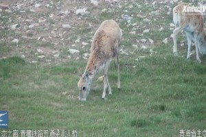Video clip shows migration of Tibetan antelopes in Hoh Xil, NW China