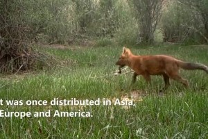 Rare pack of northern dholes spotted in NW China's Qinghai