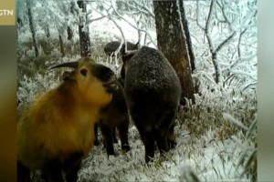 More wild animals captured on cameras in SW China