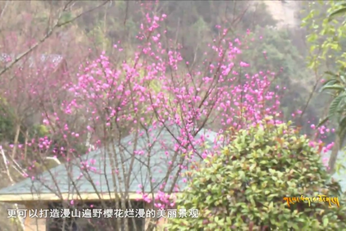 Industry of Cherry Blossom of Wenchuan County