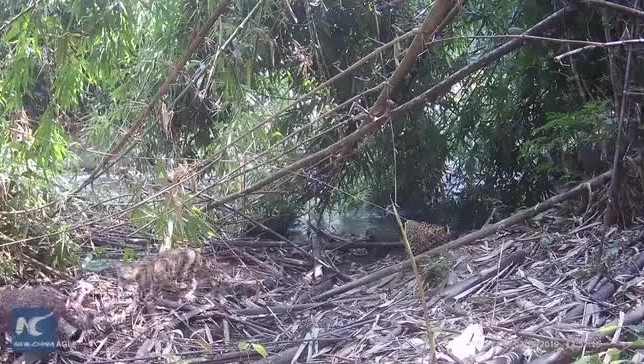 Three leopards caught on camera in SW China