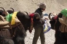 《Tibet Short Documentaries》Yaks at the foot of Mount Everest