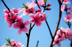 Lixian: the peach blossoms in spring