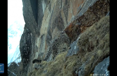 9 snow leopards caught by camera in SW China