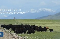 Qinghai, home to 1/3 of the world's yaks