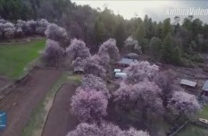 Awesome! Watch sea of peach blossoms in Tibet