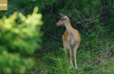 An encounter with an impatient deer in SW China