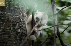 Yunnan snub-nosed monkeys have been living carefree lives in the deep forests