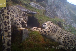 26 snow leopards spotted in SW China