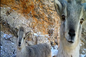 Wild animals captured by infrared camera in Changtang